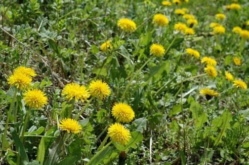今年の外来種タンポポはヤハズエンドウの森、スギナの森の中で戦っていた