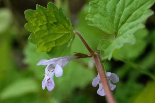 5月、カキドオシの花