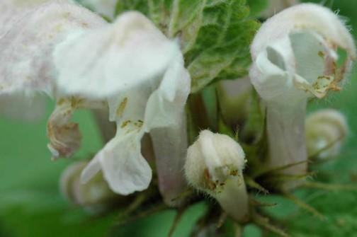 オドリコソウの花 近接