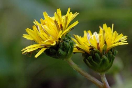 少しだけ咲いていた在来種のタンポポ
