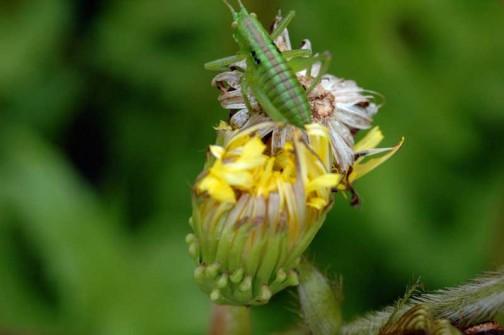 在来種のタンポポ つぼみ