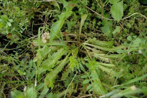 ウチの在来種 5/20にはまわりをヤハズエンドウに囲まれてしまい、埋もれていました それをどかすとシオシオに・・・