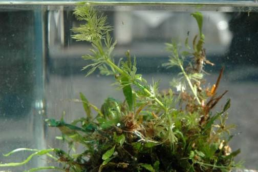 こんな感じで真ん中にキクモがすっと立っています。濃い緑の葉っぱは前からあった買ってきた水草。