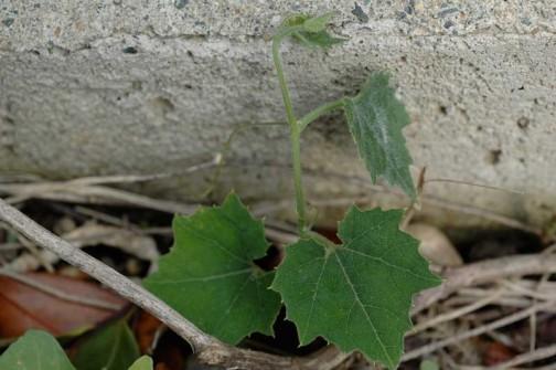 5月26日 カラスウリの芽 3センチほどのかわいい葉っぱが出ています