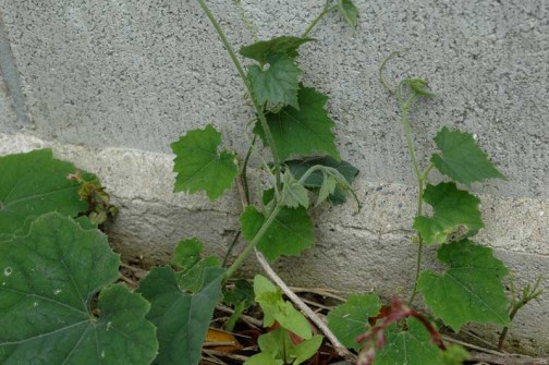 カラスウリ 6月5日 あのかわいらしかったものがこんなになってます 葉っぱも大きいのは10センチ近く