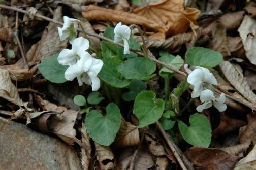 種類が違うのでしょうか?葉っぱは少し濃いめの緑、白い花のスミレも咲いています。