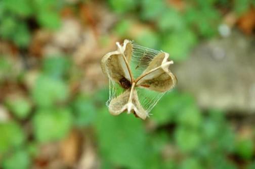 オオウバユリ 種がすっかり落ちてしまった鞘部分を上から見たところ