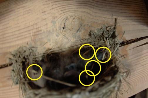 7月9日 天井とのスキマがなく、うなく写真が撮れないのですが、黄色の丸で囲んだ白っぽく見える部分をヒナのくちばしと考えれば、5羽のヒナが孵ったような気がします。