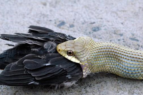 1羽ヘビにやられ、2羽が巣から落ちてしまいました。