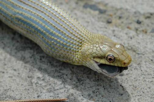 ツバメのヒナを飲み込むヘビ