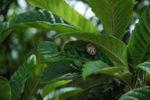なぜかビワの葉にこの模様のでんでん虫がたくさん付いていました。
