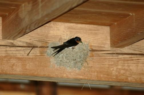 青虫を加えた親ツバメが元の巣でヒナたちを呼びます。とにかく羽ばたけ、飛ぶんだ・・・と、あの手この手で外に連れ出そうとしているみたいです。