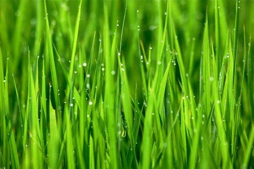 ずいぶん稲が育ってきました。朝方はなぜか稲の先っぽに水玉がもれなく乗っています。夜露が降りて先っぽでまとまるのでしょうか?それとも葉の先から水が出ているのでしょうか?