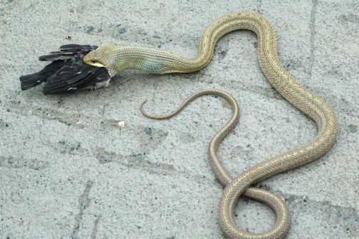 ヘビがツバメを飲み込む