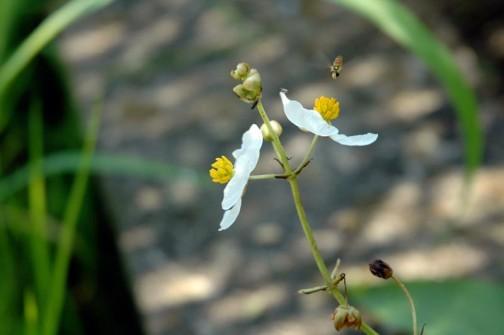 オモダカの白い花にヒラタアブの仲間が寄ってきています。