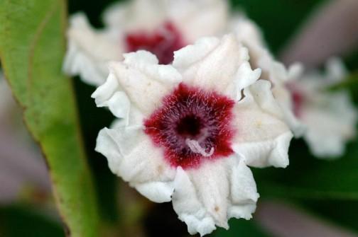 ヘクソカズラの花 正面から見るとこうです