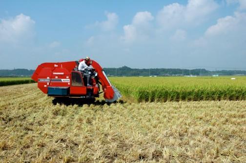 飼料稲の稲刈り あちこちの田んぼがどんどん刈られて行きます。こんなに飼料稲を作っていたんだなあ・・・とこの時ハッキリわかります。それまでは全部食べる米を作っていたわけですから、米食を中心とした穀物を食べていた生活から肉食中心の生活になったんだなあ・・・と実感します。