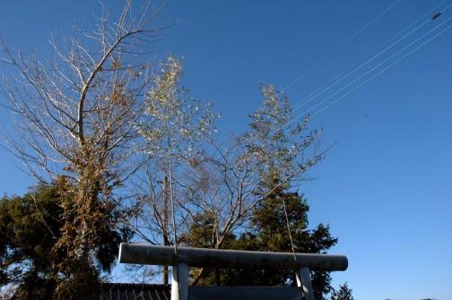 まだ青い、霜月御神守の竹の向こうは抜けるような青空!まぶしいっ!