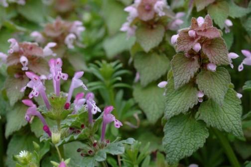 春の二大勢力、ホトケノザとヒメオドリコソウ