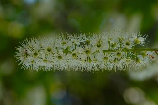 ウワミズザクラの花