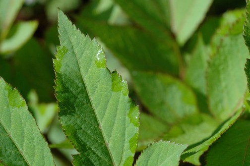 シシウド属の新芽 朝、葉っぱのギザギザから水