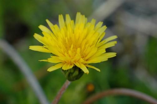 セイヨウタンポポはいつの間にか花盛りですけど、在来種のタンポポは始まったばかり