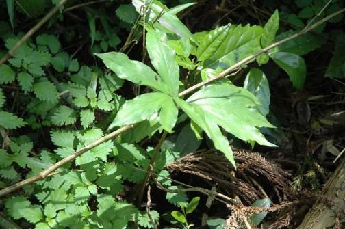 ウラシマソウの若い葉 これも花はナシの若者 花は来年かな?再来年かな?