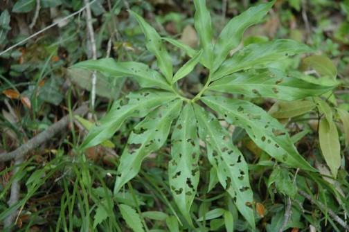 これもウラシマソウの若い葉 花はナシ。美味しいのか穴だらけです。