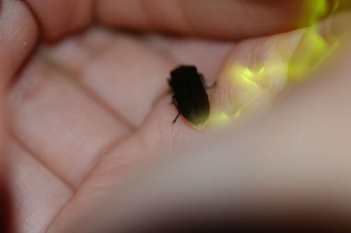 ホタル2013 子供の手のひらに乗っているのでホタル、大きく見えます。ゴキブリみたい。