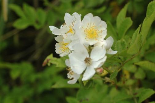 5月25日のノイバラの花 ちょっと押さえといてあとでちゃんと撮ろうと思っていたのですが・・・