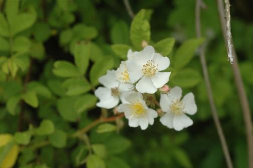 5月25日 ノイバラの花