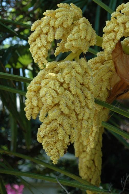 5月14日、シュロの花。もう一方のシュロ、これを仮にAシュロと呼ぶことにします。