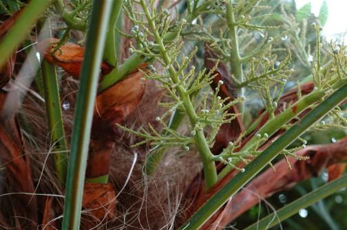 6/15日、Bシュロの花1か月後。おお!こちらはまだ緑だぞ!・・・ということは雌花?・・・