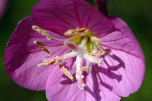 ユウゲショウ(アカバナユウゲショウ)の花