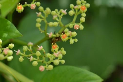 ビンボウカズラ(ヤブガラシ)の花 よく見るといろいろな形状があることがわかります。