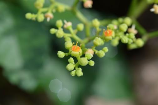 ビンボウカズラ(ヤブガラシ)の花 変杯