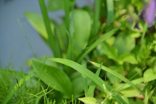 ギボウシ(擬宝珠)とはクサスギカズラ科リュウゼツラン亜科(旧分類ではユリ科)の多年草、ギボウシ属(Hosta)の総称