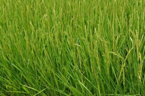 定点観測をしているコシヒカリの田んぼ。緑の支柱があるのがわかるでしょうか? 田植えのときは、たった2粒の種から出たヒョロヒョロの苗2本だったのに、こんなに増えて大きくなりました。米ができたら引っこ抜いて勘定するんだ!