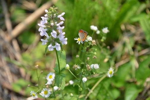 青イヌゴマ(仮)も同じような水路脇に生えています。こちらのほうが花が大きい・・・ベニシジミがやってきています。でもお隣の花のほうが好みみたい。