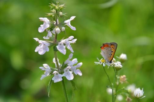 青イヌゴマ(仮)←あっ! 自分の印象で勝手に名付けちゃっただけで気にしないでください。ベニシジミにお尻を向けられ見向きもされてません。イヌゴマの大きな花は同じシソの仲間のオドリコソウクラスです。