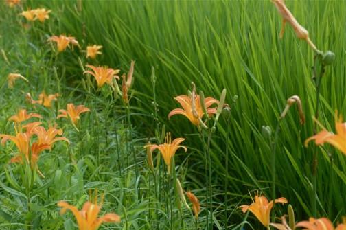 ノカンゾウの花