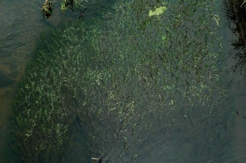 一面に広がる水草・・・オオカナダモだと思うんです
