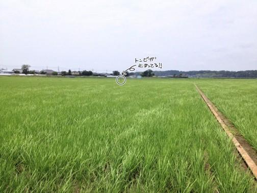 6/29日、田植えから54日後のコシヒカリの様子です。真ん中奥にトンビがとまってる!