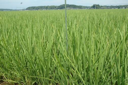 7月9日、田植えをした5月6日から54日経過しました。もう地面の茶色はほとんど見えません。