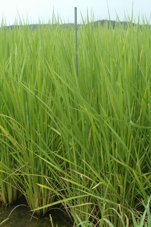 コシヒカリの成長の様子 8月4日、5/6の田植えから90日、約三ヶ月たちました。稲穂もチラホラ出てきました。