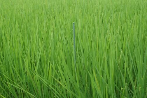コシヒカリの成長の様子 8月4日、5/6の田植えから90日、約三ヶ月たちました。目印の棒を越してしまいそうな稲の背丈です。