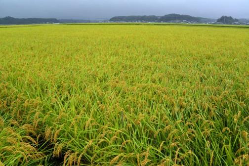 収穫を待つコシヒカリの田んぼ。田植えから125日、4月7日の種まきからだと148日?