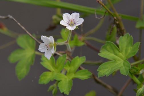 ゲンノショウコの花 大きさはホント小さくて1.2センチほど