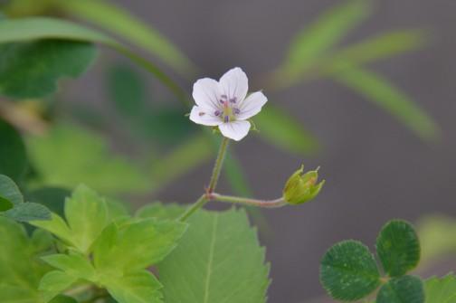 ゲンノショウコの花(多分ね)