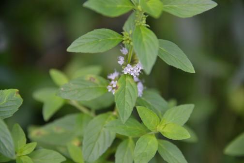日本ハッカの花 薄い薄い青紫がかすかにかかった白い花です